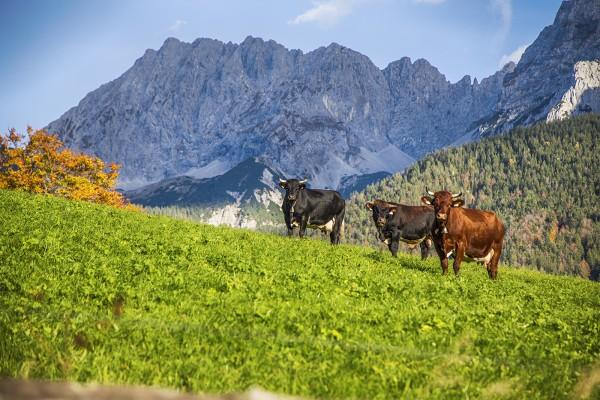 Kühe vor dem Wörner