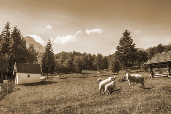 Schafe am Kranzberg