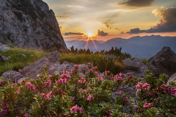 alpenrosen-sonnenuntergang