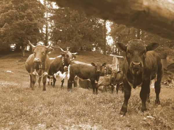 kühe-kälber-sepia