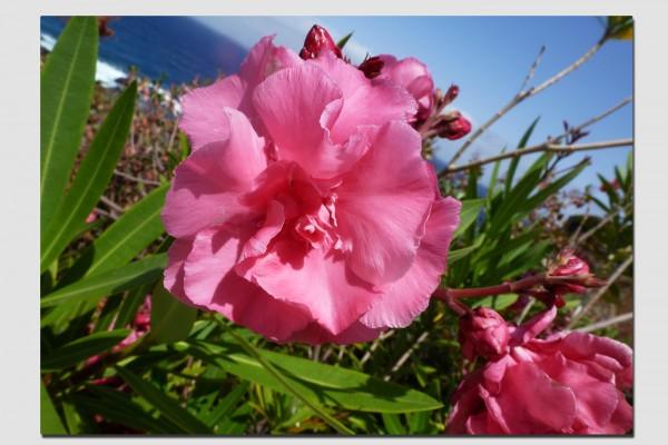 Tischset Oleanderblüte