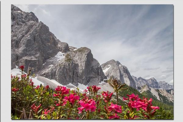Tischset Alpenrosen im Karwendel