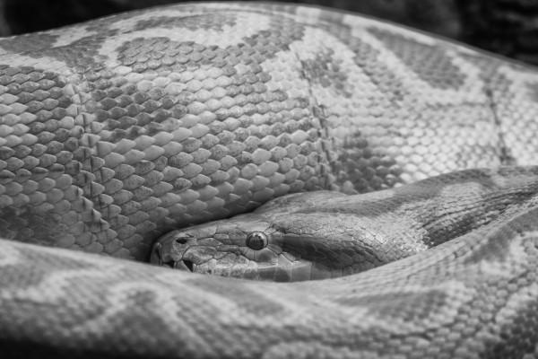 Schlange in schwarzweiß