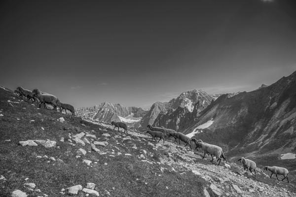Schafe auf der Sommerweide im Karwendel