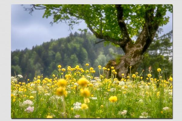 Tischset Trollblumenwiese