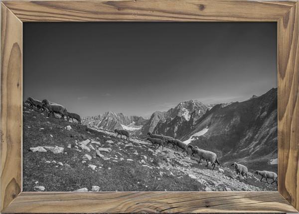 Schafe-Sommerweide-Karwendel-Altholzrahmen