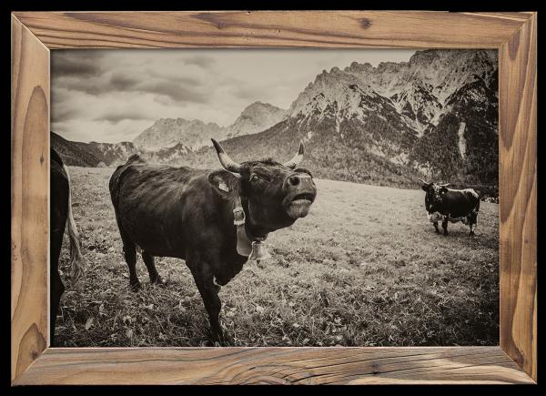 muhende Kuh im Altholzrahmen