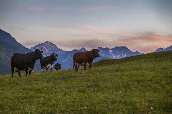 Kuhherde vor der Tiroler Nordkette