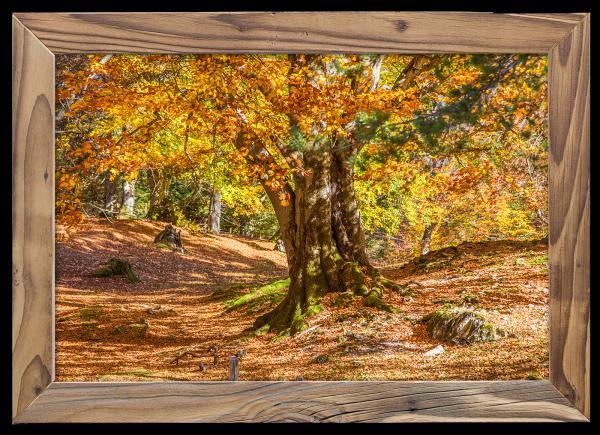 Buche-im-Herbst-im-Altholzrahmen
