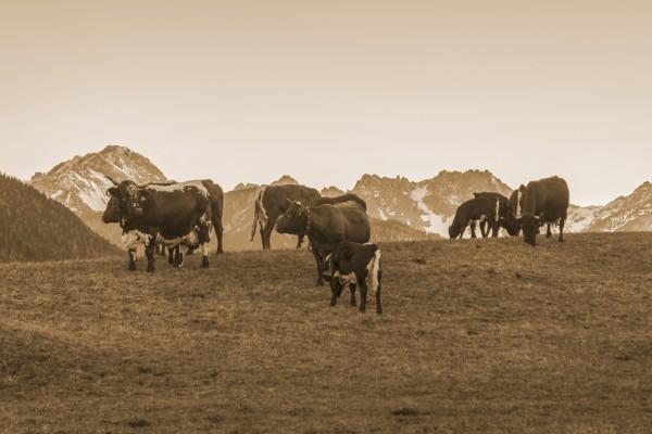 Kühe am Kranzberg