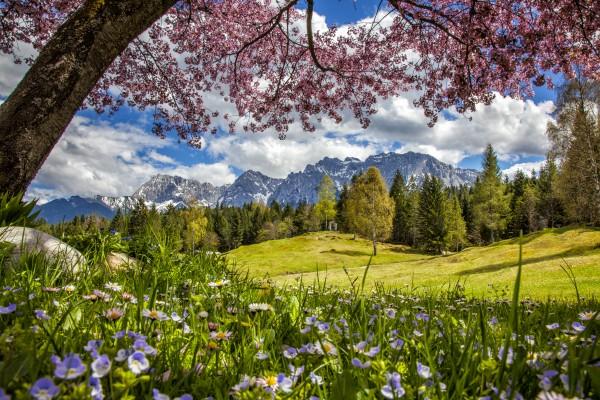 Tassenmotiv KIrschblüte